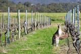 Kangaroos in the vineyard.