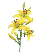 Branch With Lilium Yellow Diam...