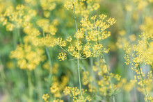 Fresh Green Dill With Yellow Umbrellas. Ripening Dill Seeds. Blurred Background, Selective Focus