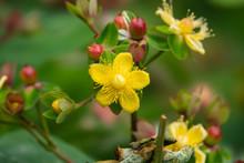 St. John's Wort Flowers In Blo...