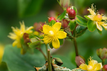 St. John's Wort Flowers In Bloom In Springtime