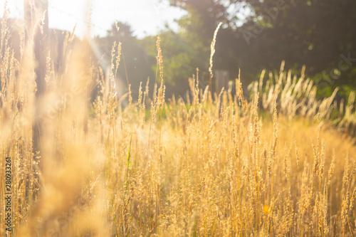 Fotobehang Natuur Rye is growing in a landscape