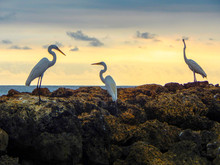 Three Herons On The Rocks In Front Of The Sea At Sunset