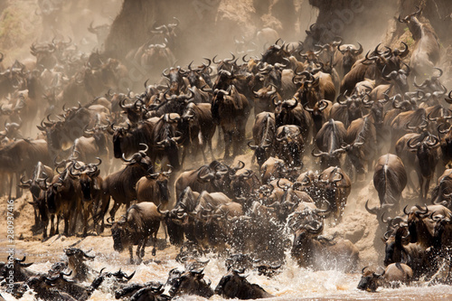 The great migration of Mara, Wildebeests crossing Mara river, Masai Mara, kenya