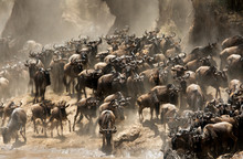 The Great Migration Of Mara, Wildebeests Crossing Mara River, Masai Mara, Kenya