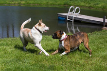 Husky Labrador Retriever Mixed Breed Dog, And A Pure Bred Boxer Dog Playing In A Grassy Meadow On A Sunny Summer Day.