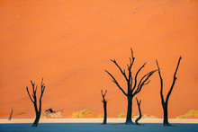Dead Camelthorn Trees Against Red Dunes