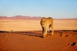 Fototapeta Sawanna - Cheetah in dunes