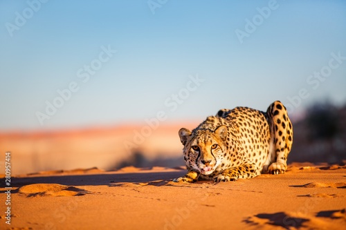 Photographie Cheetah in dunes