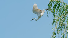 Great White Egret Flies Away Willow Tree With Wings Open Widely, Ready To Catch Fish, White Egret With Blue Sky Background.