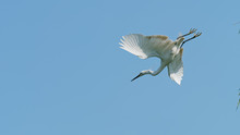 Great White Egret Flies Away W...