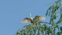 Great White Egret Stands On Top Of Willow Tree With Wings Open Widely, Ready To Fly Away, White Egret With Blue Sky Background.