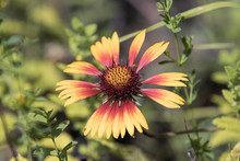 Red And Yellow Coneflower In A...