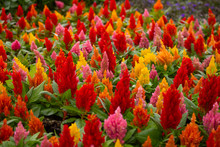 A Garden Full Of Warmed Colored Celosia Flowers