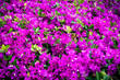 Leinwanddruck Bild - Shallow depth of flower bed photo, blossoms in focus, purple and lilac flowerbed. Abstract flowery spring and summer background. Close up of bright beautifully blooming mauve flowers.
