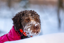 Beautiful Lagotto Romagnolo Dog Playing In The Snow In Winter, In The Forest