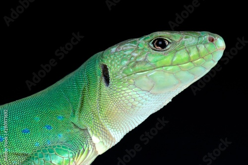 Photo  Moroccan eyed lizard (Timon tangitanus)