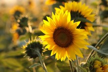 Sunflower - Helianthus Annuus In The Field At Dusk