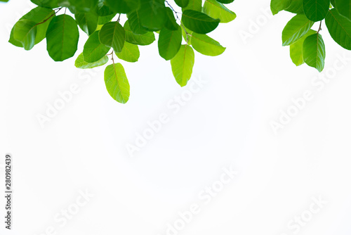 Poster Trees Closeup nature view of green leaf on white background in garden with copy space using as background natural green plants landscape, ecology, fresh wallpaper concept.