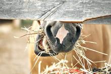 Horse Eats Hay. Close-up.