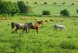 Pferde und Kühe auf einer großen Weide