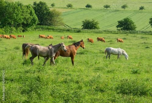 Poster Pierre, Sable Pferde und Kühe auf einer großen Weide