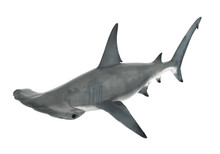 Hammerhead Shark Isolated