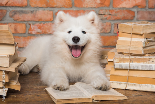 White Samoyed puppy dog with book Canvas Print