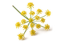Wild Fennel Flowers