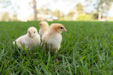 Yellow Chicks  In The Grass