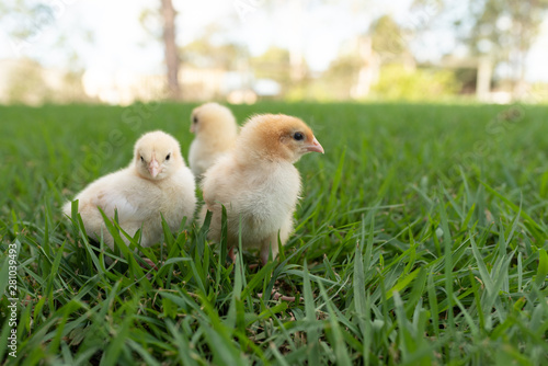 obraz PCV yellow chicks in the grass