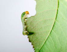 Big Caterpillar Eating Green Leaf. Insect Isolated On White Background.