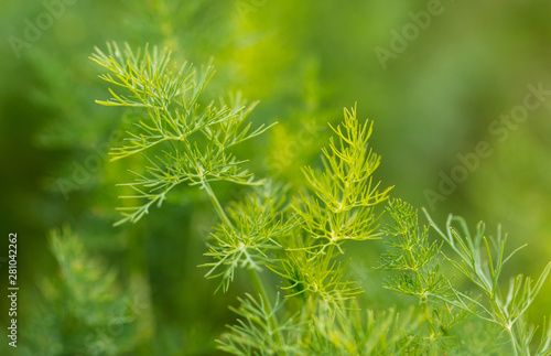 Green leaves on dill as a background Fotobehang