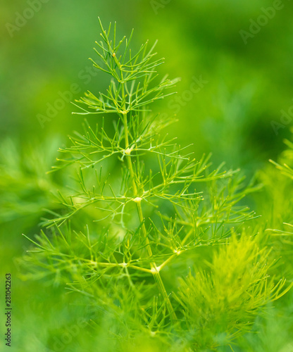 Green leaves on dill as a background Fototapete