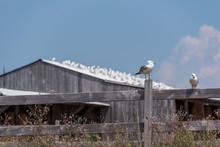 Seagull On Fencepost