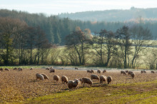 Sheep Grazing On A Winter Land...