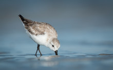 A Sanderling Bird In The Water
