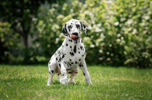 Dalmatian Dog Beautiful Portra...