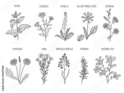 Obraz Medical herbs. Herbal floral collection healthy flowers leaves vector hand drawn illustrations. Floral herb capsella and cichorium, taraxacum and linum - fototapety do salonu