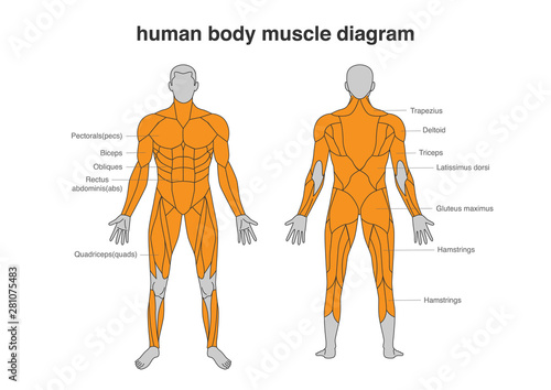 Human body Muscles Diagram in Full Length front and Back side Fototapet