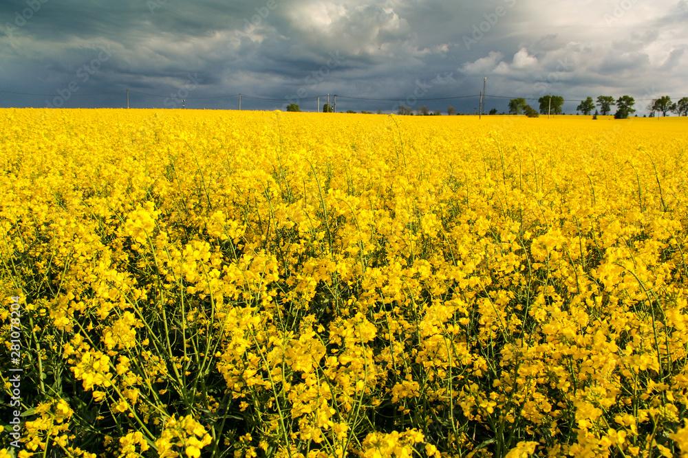 Fototapeta Piękny krajobraz pole rzepaku i niebo