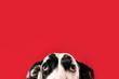 Puppy Dog Eyes of Great Dane Dog