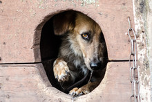 Frightened Adult Dog Looks Out Of His Doghouse