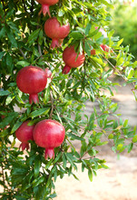 Ripe Pomegranates Fruit Hanging On A Tree Branch In The Garden.