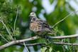 Turteltaube (Streptopelia turtur) - European turtle dove