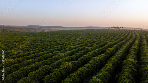 Aerial view of coffee plantation. Sunrise. Wallpaper Mural