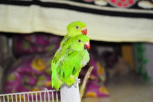 Indian Type Parrot In Pondicherry