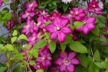 Pink Clematis In Garden