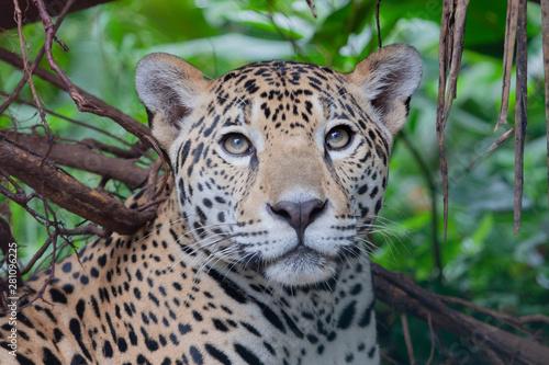 Jaguar in Rainforest Poster Mural XXL