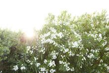 Oleander Bush At Sunset